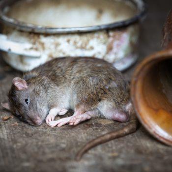 Profesionales en eliminar roedores